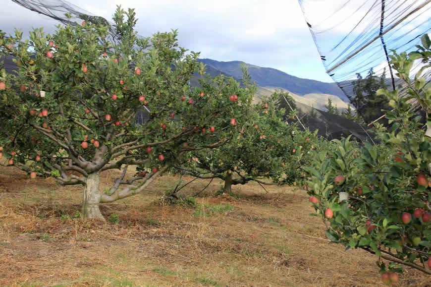 Cultivo de manzanas